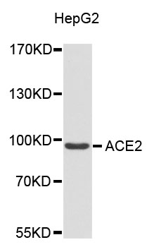 ACE2 / ACE-2 Antibody - Western blot analysis of extracts of HepG2 cells.