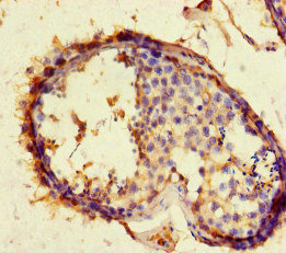 ACE2 / ACE-2 Antibody - Immunohistochemistry of paraffin-embedded humantestis tissue at dilution of 1:100