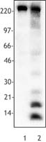 Acetyl-Lysine Antibody - Untreated Hela cells (lane 1) and sodium butyrate-treated Hela cells (24 hr treatment, lane 2) were lysed and cell extracts resolved by electrophoresis, transferred to nitrocellulose and probed with anti-acetylated lysine antibody (clone 15G10). Protein.