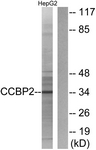 Western blot of extracts from HepG2 cells, using CCBP2 Antibody. The lane on the right is treated with the synthesized peptide.