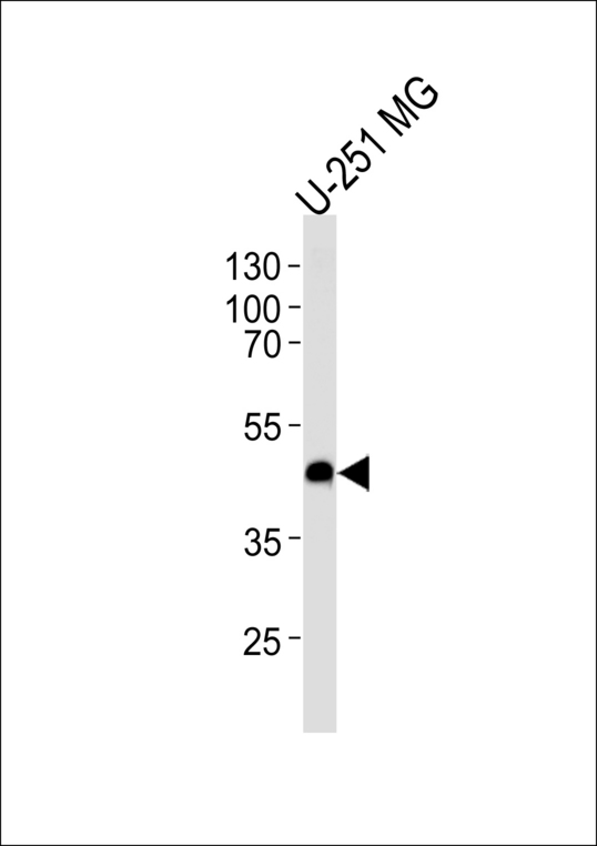 ACKR3 / CXCR7 Antibody - Western blot of lysate from U-251 MG cell line, using CXCR7 Antibody. Antibody was diluted at 1:1000 at each lane. A goat anti-rabbit IgG H&L (HRP) at 1:5000 dilution was used as the secondary antibody. Lysate at 35ug per lane.