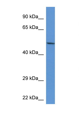 ACP2 / Acid Phosphatase 2 antibody LS-C135173 Western blot of Rat Kidney lysate. Antibody concentration 1 ug/ml.  This image was taken for the unconjugated form of this product. Other forms have not been tested.