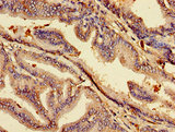 Immunohistochemistry image of paraffin-embedded human prostate tissue at a dilution of 1:100