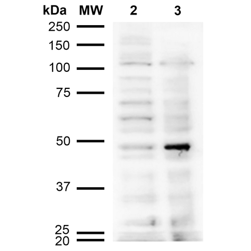 Acrolein Antibody - Western Blot analysis of Human Cervical cancer cell line (HeLa) lysate showing detection of Acrolein protein using Mouse Anti-Acrolein Monoclonal Antibody, Clone 10A10. Lane 1: Molecular Weight Ladder (MW). Lane 2: HeLa cell lysate. Lane 3: H2O2 treated HeLa cell lysate. Load: 12 µg. Block: 5% Skim Milk in TBST. Primary Antibody: Mouse Anti-Acrolein Monoclonal Antibody  at 1:1000 for 2 hours at RT. Secondary Antibody: Goat Anti-Mouse IgG: HRP at 1:2000 for 60 min at RT. Color Development: ECL solution for 5 min in RT.