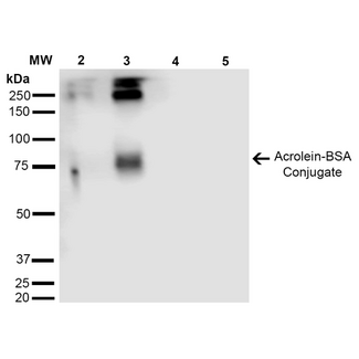Acrolein Antibody - Western Blot analysis of Acrolein-BSA Conjugate showing detection of 67 kDa Acrolein protein using Mouse Anti-Acrolein Monoclonal Antibody, Clone 2H2. Lane 1: Molecular Weight Ladder (MW). Lane 2: Acrolein-BSA (0.5 µg). Lane 3: Acrolein-BSA (2.0 µg). Lane 4: BSA (0.5 µg). Lane 5: BSA (2.0 µg). Block: 5% Skim Milk in TBST. Primary Antibody: Mouse Anti-Acrolein Monoclonal Antibody  at 1:1000 for 2 hours at RT. Secondary Antibody: Goat Anti-Mouse IgG: HRP at 1:2000 for 60 min at RT. Color Development: ECL solution for 5 min in RT. Predicted/Observed Size: 67 kDa.