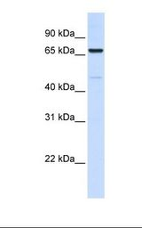 Placenta lysate. Antibody concentration: 1.0 ug/ml. Gel concentration: 12%.  This image was taken for the unconjugated form of this product. Other forms have not been tested.