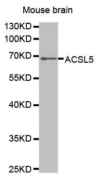 Western blot analysis of extracts of mouse brain tissue lines.