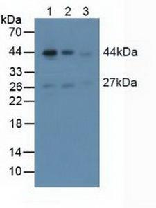 ACTA2 / Smooth Muscle Actin Antibody - Western Blot; Sample: Lane1: Mouse Brain Tissue; Lane2: Mouse Heart Tissue; Lane3: Mouse Skeletal Muscle Tissue.