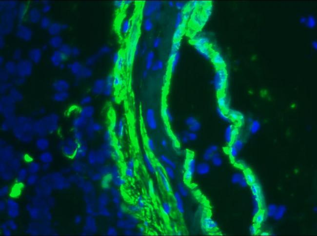 ACTA2 / Smooth Muscle Actin Antibody - Frozen section of human small intestine immunostained with SM1 (1:1000)