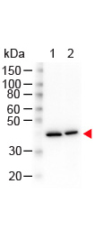 ACTB / Beta Actin Antibody - Western Blot of Mouse anti-N-Term Beta Actin Monoclonal Antibody. Lane 1: HeLa Whole Cell Lysate. Lane 2: NIH/3T3 Whole Cell Lysate. Load: 10 µg per lane. Primary antibody: N-Term Beta Actin Monoclonal Antibody at 1.13 ug/mL overnight at 4°C. Secondary antibody: HRP mouse secondary antibody at 1:40,000 for 30 min at RT. Block: MB-070 for 30 min at RT. Predicted/Observed size: 42 kDa, 42 kDa for N-Term Beta Actin. Other band(s): None.