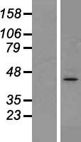 ACTG1 / Gamma Actin Protein - Western validation with an anti-DDK antibody * L: Control HEK293 lysate R: Over-expression lysate