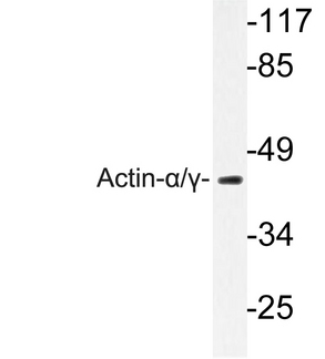 Actin, Alpha+Gamma Antibody - Western blot of Actin-/ (Q49) pAb in extracts from mouse heart.