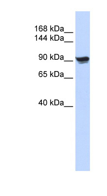 ACTN1 / ASMA antibody LS-C102772 Western blot of 293T cell lysate.  This image was taken for the unconjugated form of this product. Other forms have not been tested.