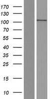 ACTN2 Protein - Western validation with an anti-DDK antibody * L: Control HEK293 lysate R: Over-expression lysate