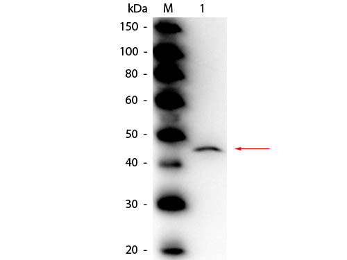 ADA / Adenosine Deaminase Antibody - Western Blot of rabbit anti-Adenosine Deaminase Antibody Peroxidase Conjugated. Lane 1: Adenosine Deaminase (Calf Spleen). Load: 50 ng per lane. Primary antibody: Rabbit anti-Adenosine Deaminase Antibody Peroxidase Conjugated at 1:1,000 overnight at 4°C. Secondary antibody: n/a. Block: MB-070 for 30 min at RT. Predicted/Observed size: 41 kDa, 45 kDa for Adenosine Deaminase (Calf Spleen).
