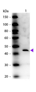 ADA / Adenosine Deaminase Antibody - Western blot of rabbit Anti-Adenosine Deaminase (Calf Spleen) antibody. Lane 1: Adenosine Deaminase. Lane 2: None. Load: 50 ng per lane. Primary antibody: Adenosine Deaminase antibody at 1:1,000 for overnight at 4°C. Secondary antibody: Peroxidase rabbit secondary antibody at 1:40,000 for 30 min at RT. Blocking: MB-070 for 30 min at RT. Predicted/Observed size: 44 kDa, 44 kDa for Adenosine Deaminase. Other band(s): None.