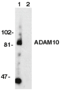 ADAM10 Antibody - Western blot of ADAM10 in Jurkat whole cell lysate in the absence (1) or presence (2) of blocking peptide (Catalog no. 2051P) with ADAM10 antibody at 1 mg/ml.