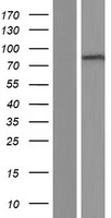 ADAM10 Protein - Western validation with an anti-DDK antibody * L: Control HEK293 lysate R: Over-expression lysate