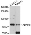 Western blot analysis of extracts of various cell lines, using ADAM8 antibody at 1:1000 dilution. The secondary antibody used was an HRP Goat Anti-Rabbit IgG (H+L) at 1:10000 dilution. Lysates were loaded 25ug per lane and 3% nonfat dry milk in TBST was used for blocking. An ECL Kit was used for detection and the exposure time was 30s.