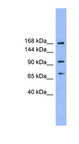 ADAMTS19 Antibody - ADAMTS19 antibody Western blot of THP-1 cell lysate. This image was taken for the unconjugated form of this product. Other forms have not been tested.