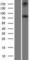 ADAR2 / ADARB1 Protein - Western validation with an anti-DDK antibody * L: Control HEK293 lysate R: Over-expression lysate
