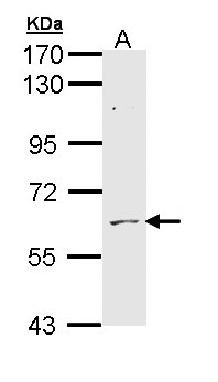 Sample (30 ug of whole cell lysate). A: H1299. 7.5% SDS PAGE. ADCK1 antibody diluted at 1:1000.