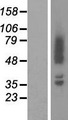 ADD2 Protein - Western validation with an anti-DDK antibody * L: Control HEK293 lysate R: Over-expression lysate