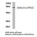 ADD3 Antibody - Western blot of Adducin (P452) pAb in extracts from A549 cells.