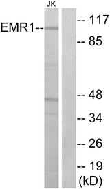 Western blot analysis of lysates from Jurkat cells, using EMR1 Antibody. The lane on the right is blocked with the synthesized peptide.
