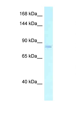 EMR2 antibody Western blot of PANC1 Cell lysate. Antibody concentration 1 ug/ml.  This image was taken for the unconjugated form of this product. Other forms have not been tested.