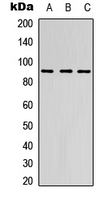 Western blot analysis of EMR2 expression in HEK293T (A); Raw264.7 (B); PC12 (C) whole cell lysates.