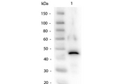 Western Blot of Alcohol Dehydrogenase Antibody. Lane 1: Alcohol Dehydrogenase. Load: 50ng per lane. Primary antibody: Alcohol Dehydrogenase Antibody at 1:1,000 overnight at 4 degrees C. Secondary antibody: Peroxidase Conjugated Rabbit secondary antibody at 1:40,000 for 30 min at RT. Block: MB-070 Blocking Buffer for 30 min at RT. Predicted/Observed size: 37kDa, 45kDa.