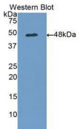 Western blot of recombinant ADIPOR1/Adiponectin Receptor 1.  This image was taken for the unconjugated form of this product. Other forms have not been tested.
