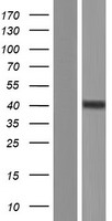 ADK / Adenosine Kinase Protein - Western validation with an anti-DDK antibody * L: Control HEK293 lysate R: Over-expression lysate