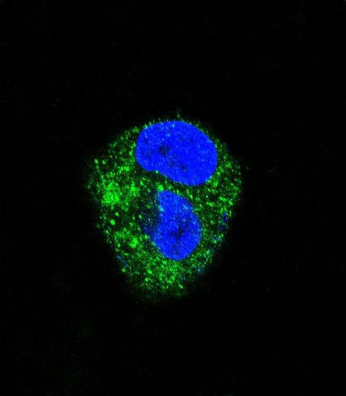 Confocal immunofluorescence of ADORA2A Antibody with HepG2 cell followed by Alexa Fluor 488-conjugated goat anti-rabbit lgG (green). DAPI was used to stain the cell nuclear (blue).