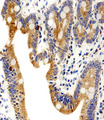Immunohistochemical of paraffin-embedded H. small intestine section using ADRA1D Antibody. Antibody was diluted at 1:100 dilution. A peroxidase-conjugated goat anti-rabbit IgG at 1:400 dilution was used as the secondary antibody, followed by DAB staining.