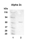 Western blot detection of Alpha 2c in 20 ug of human brain lysate (lane 2) with Alpha 2c polyclonal at 1:1000 dilution followed by AP-conjugated secondary at 1:5000 dilution. MW marker in Lane 1.