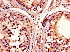 ADRM1 Antibody - Immunohistochemistry of paraffin-embedded human testis tissue using ADRM1 Antibody at dilution of 1:100