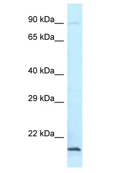 AES / Groucho antibody Western Blot of Mouse Heart. Antibody dilution: 1 ug/ml.  This image was taken for the unconjugated form of this product. Other forms have not been tested.