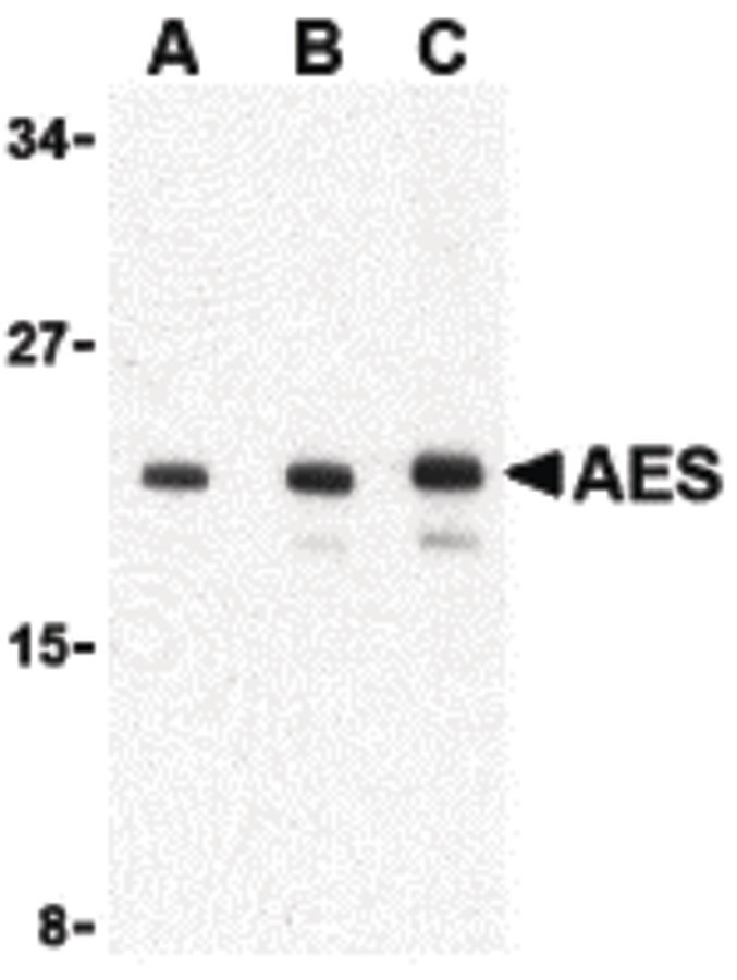 Western blot of AES in 293 cell lysate with AES antibody at (A) 1, (B) 2 and (C) 4 ug/ml.
