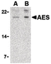 Western blot of AES in 293 cell lysate with AES antibody at (A) 2 and (B) 4 ug/ml.