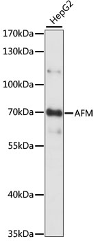 AFM / Afamin Antibody - Western blot analysis of extracts of HepG2 cells, using AFM antibody at 1:1000 dilution. The secondary antibody used was an HRP Goat Anti-Rabbit IgG (H+L) at 1:10000 dilution. Lysates were loaded 25ug per lane and 3% nonfat dry milk in TBST was used for blocking. An ECL Kit was used for detection and the exposure time was 1S.