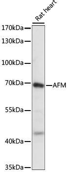 AFM / Afamin Antibody - Western blot analysis of extracts of Rat heart, using AFM antibody at 1:1000 dilution. The secondary antibody used was an HRP Goat Anti-Rabbit IgG (H+L) at 1:10000 dilution. Lysates were loaded 25ug per lane and 3% nonfat dry milk in TBST was used for blocking. An ECL Kit was used for detection and the exposure time was 1S.