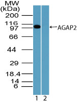 Western blot of AGAP2 in Jurkat cell lysate in the 1) absence and 2) presence of immunizing peptide using LS-C148580 at 1 ug/ml. Goat anti-rabbit Ig HRP secondary antibody, and PicoTect ECL substrate solution, were used for this test.