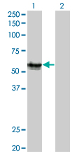 Western Blot analysis of AGER expression in transfected 293T cell line by AGER monoclonal antibody (M02), clone 1C1.Lane 1: AGER transfected lysate(42.8 KDa).Lane 2: Non-transfected lysate.