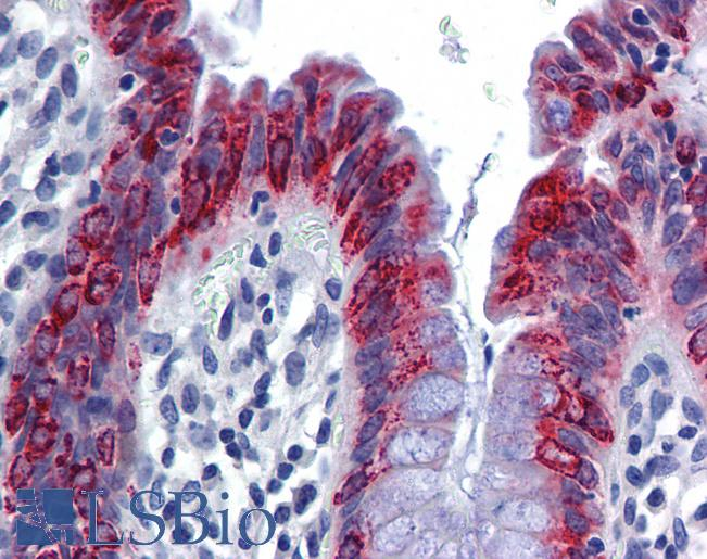 Anti-AGR2 antibody IHC of human colon. Immunohistochemistry of formalin-fixed, paraffin-embedded tissue after heat-induced antigen retrieval. Antibody concentration 5 ug/ml.  This image was taken for the unconjugated form of this product. Other forms have not been tested.