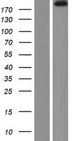 AGRN / Agrin Protein - Western validation with an anti-DDK antibody * L: Control HEK293 lysate R: Over-expression lysate