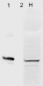 Western blot analysis of Aha1 in HeLa cells (1) and recombinant Aha1 (2) using a 1:1000 dilution of AHSA1 / AHA1 antibody.  This image was taken for the unconjugated form of this product. Other forms have not been tested.