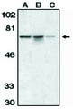 Western blot of anti-AIF (CT) antibody at 1 ug/ml on K562 cell lysate (A) and mouse (B) and rat (C) liver tissue lysates.