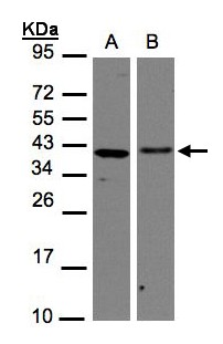 Sample (30 ug of whole cell lysate). A: H1299, B: Hep G2. 12% SDS PAGE. EMAP II / p43 antibody diluted at 1:1000